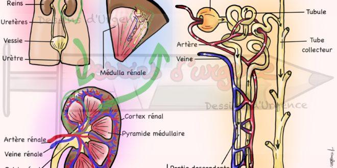 Anatomie du rein