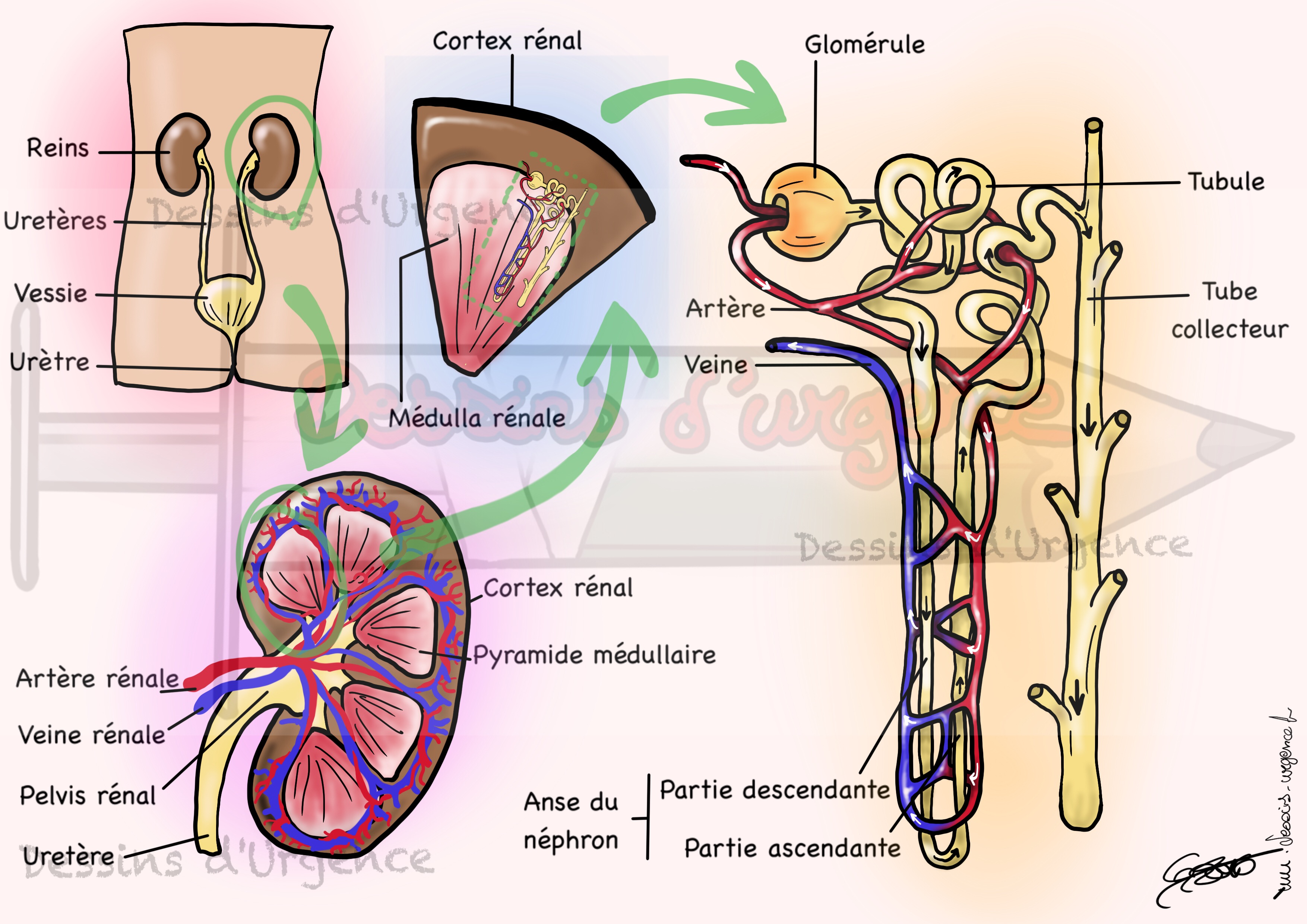 Ausgezeichnet Anatomie Des Gebärmutterhalses Ideen - Menschliche ...